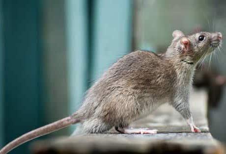 Plaga de ratas de alcantarilla